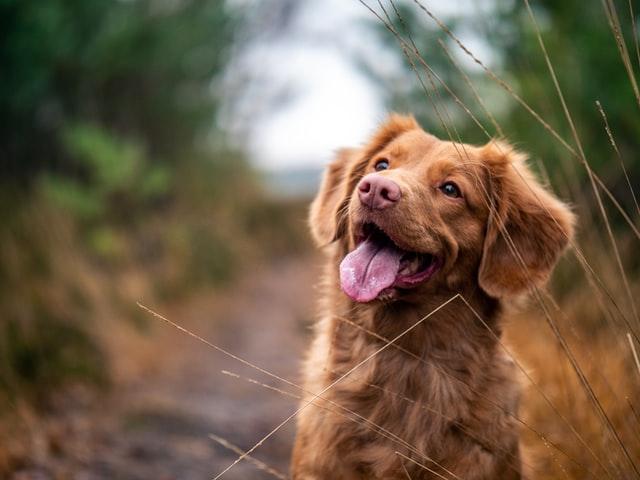 glad rödbrun hund