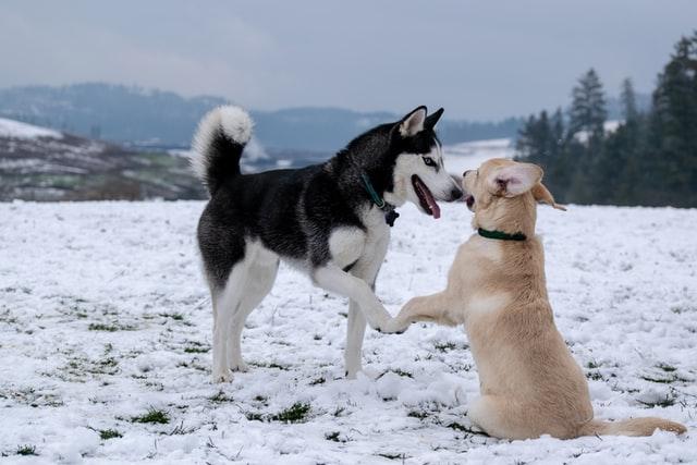 hundar som leker i snön
