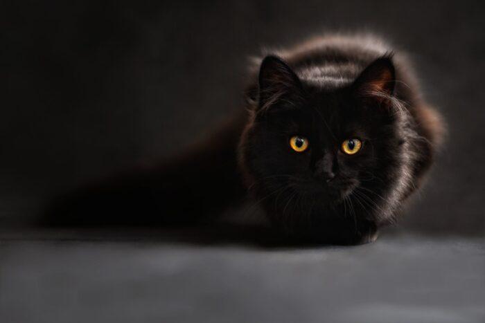 Svart katt med gula ögon